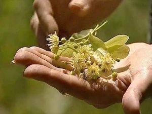 Липовый цвет 1 Липовый цвет   чем полезно дерево для здоровья
