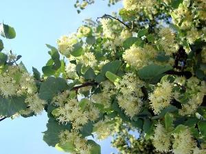 Липовый цвет 5 Липовый цвет   чем полезно дерево для здоровья
