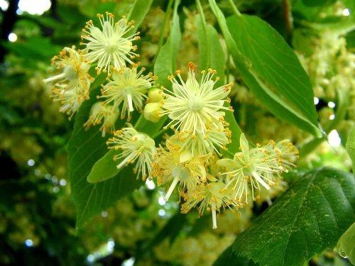 Липовый цвет Липовый цвет   чем полезно дерево для здоровья