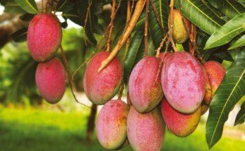 mango-chem-polezen