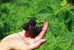 2019 06 10 164706 Чем полезна ежевика: состав ягоды, применение, противопоказания