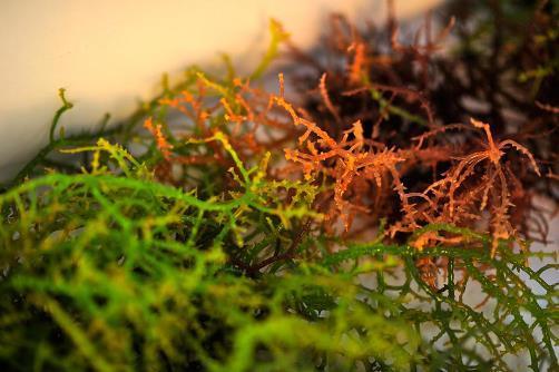 Ирландский мох: лечебные свойства и противопоказания